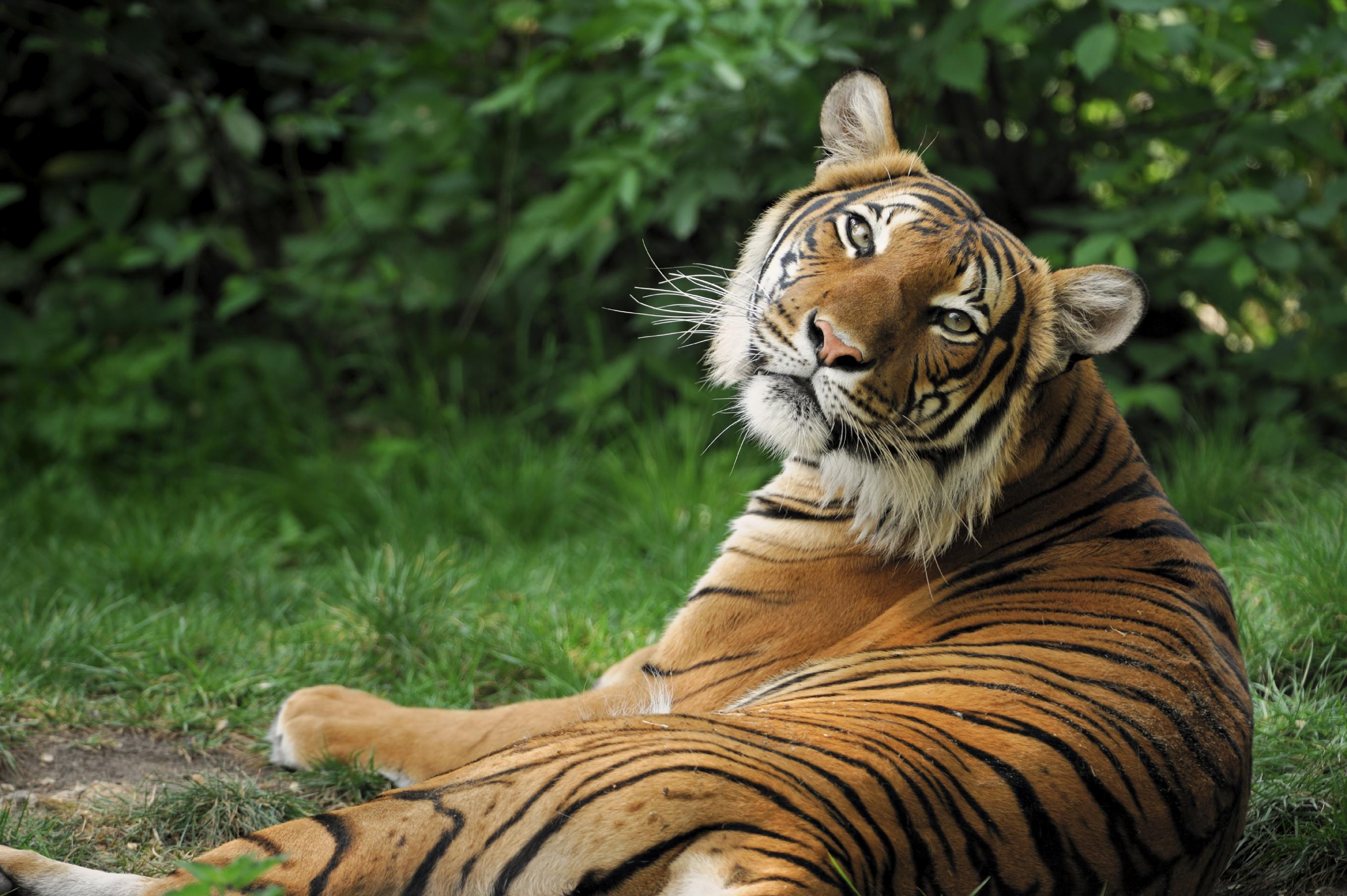 Languages, Tiger, Subject Genius, Heather Martin