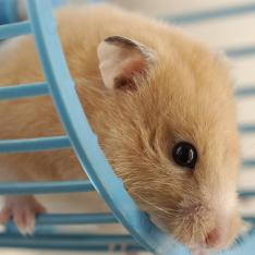 Cute hamster on wheel