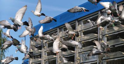 Behaviour management and pigeon racing