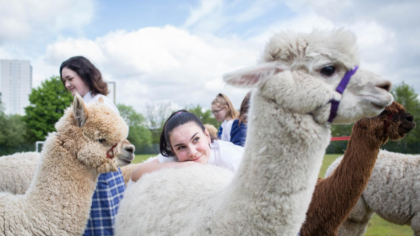 School uses alpacas to ease exam stress